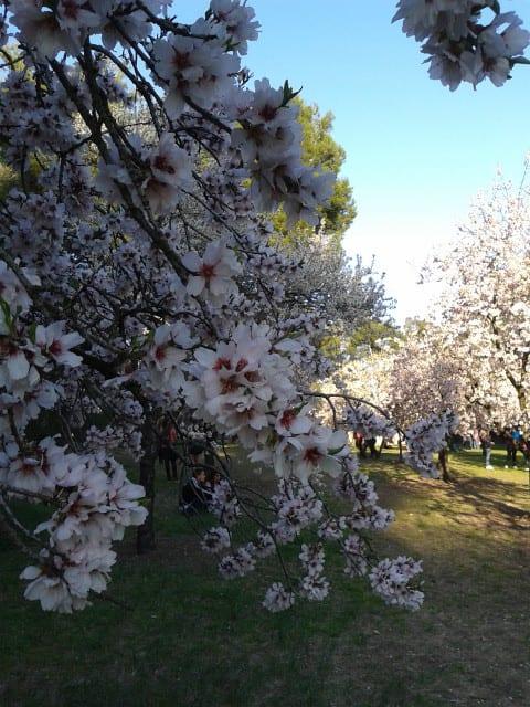 Almendros floridos en Madrid