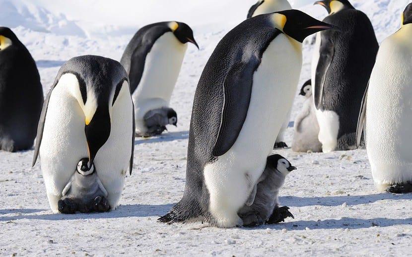 pinguinos_de_la_antartida