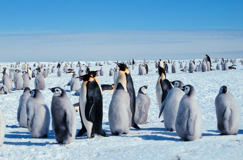 pinguino_antartico