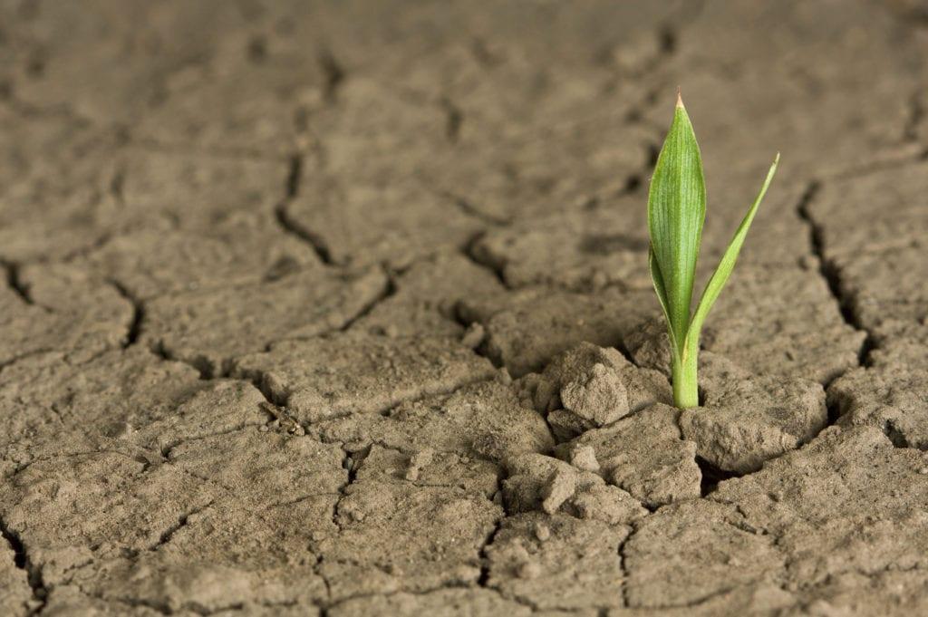 Maíz en campo seco