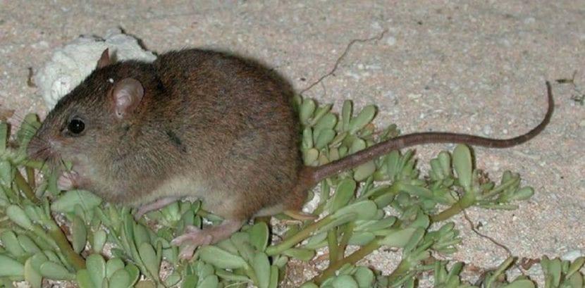 Roedor Australia