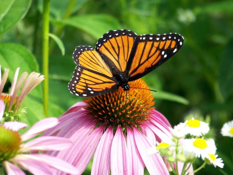 Mariposa polinizando una flor de Echinácea