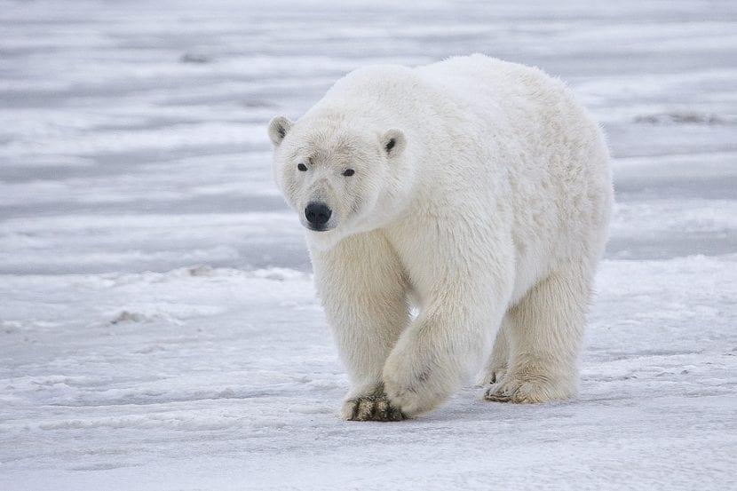 Oso polar en Alaska