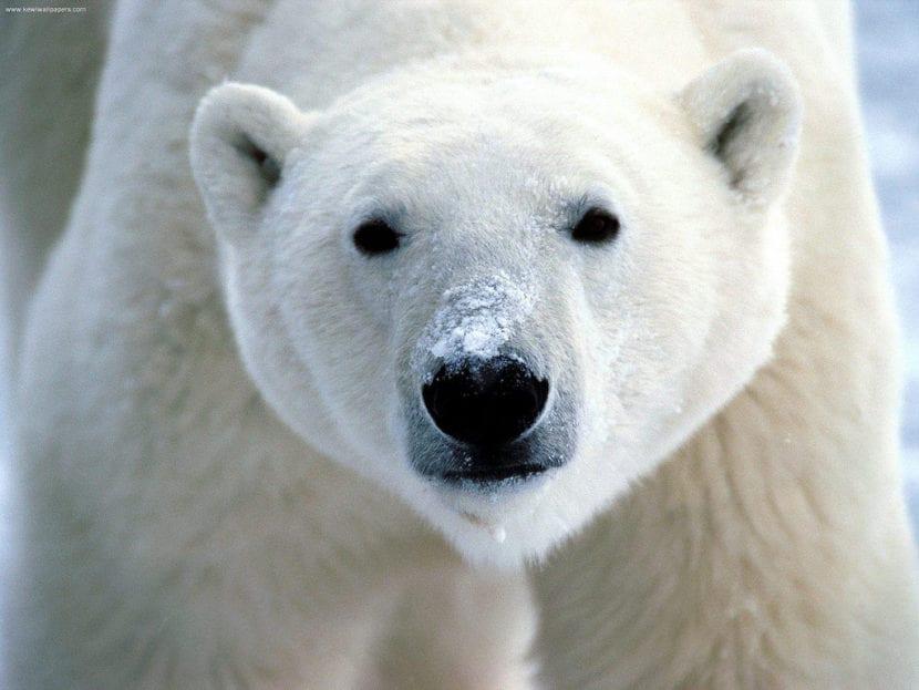 Los osos polares despiertan de su hibernación con el equinoccio de marzo