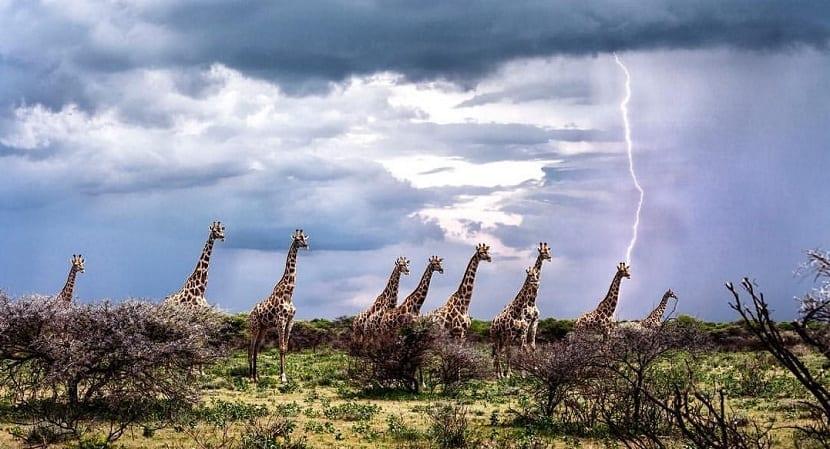 Rayo cae a jirafa