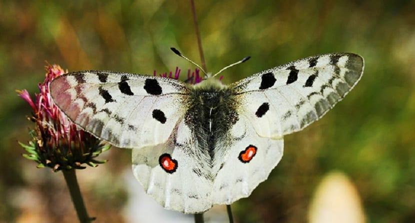 Mariposa apolo, cambio climático