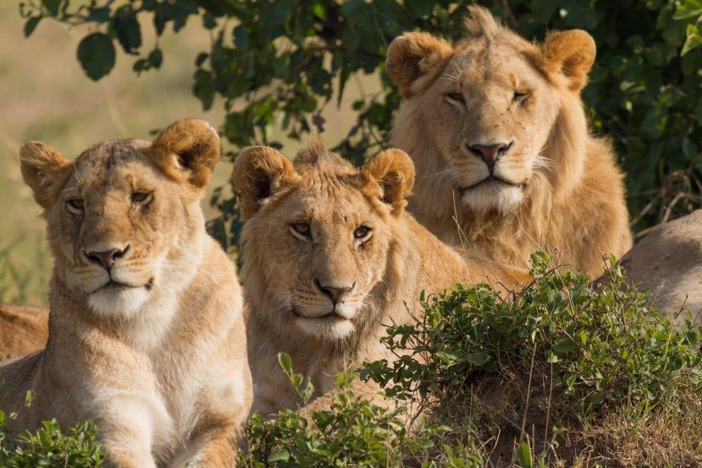 Los leones son unos de los felinos que más en peligro de extinción está. Tan sólo quedan 7500, un 22% menos que en el año 2000.