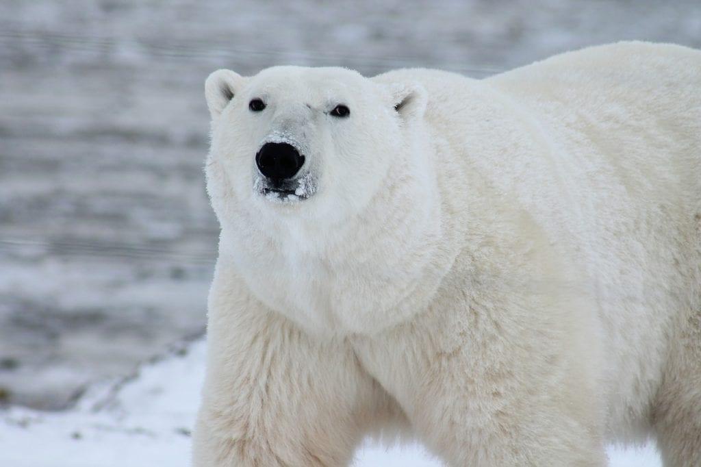 El oso polar es uno de los animales que peor lo está pasando por el calentamiento global. Sólo quedan 24 mil.