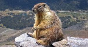 Marmota pirineos