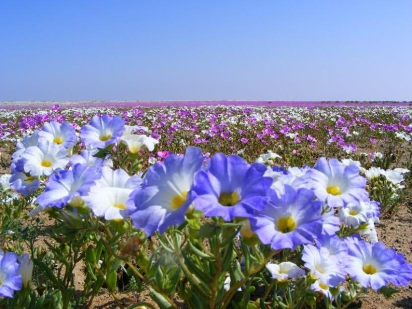 Plantas en flor en el desierto de Atacama