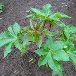 Planta joven de Ricinus communis