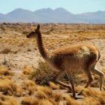 Vicuña en el desierto de Atacama