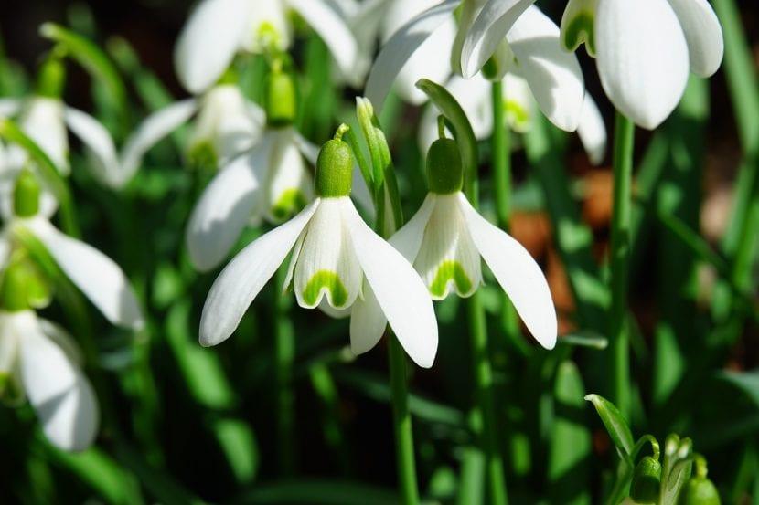 Galanthus, una planta bulbosa en flor