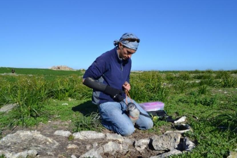 Investigador mide a un pingüino joven