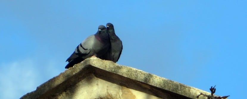 la paloma bravía prepara el nido cuando llega la primavera