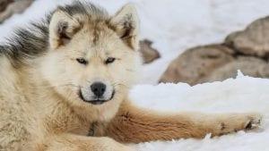 Perro groenlandés