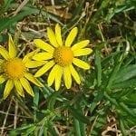 Senecio myriohyllum en flor