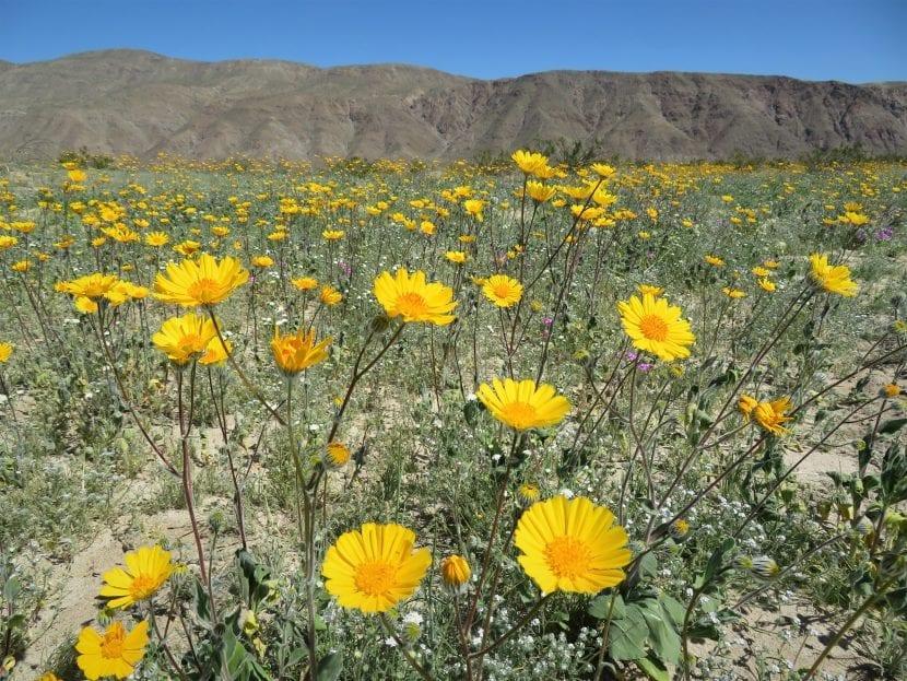 Flores en marzo 2017 en el desierto de California