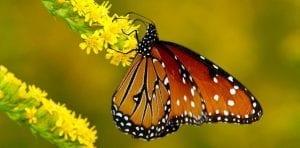 las mariposas pierden la sincronía con los ecosistemas