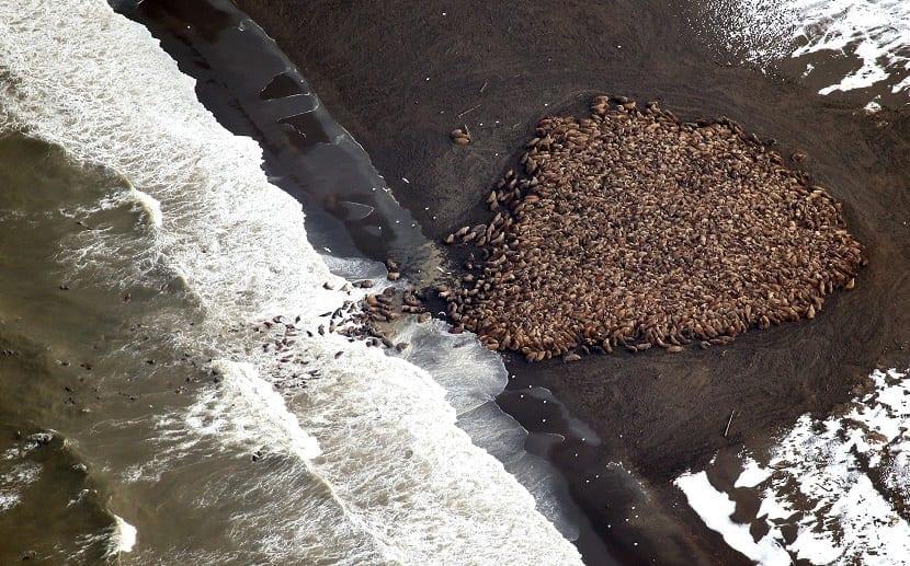 morsas en la costa de alaska