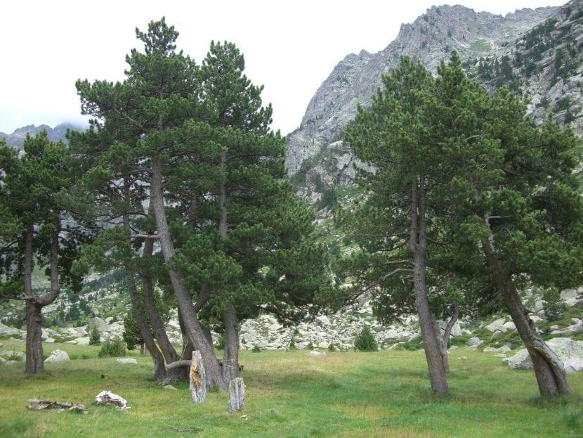Ejemplares de pino negro