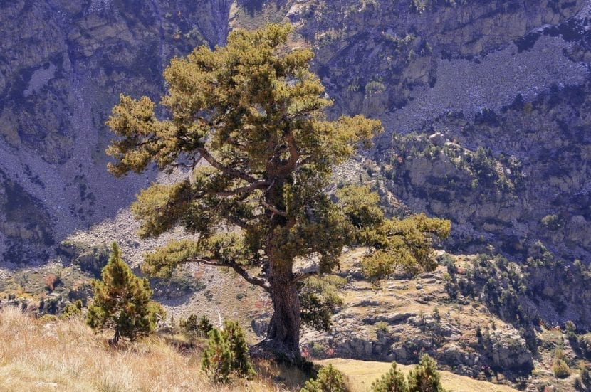 Ejemplar de Pinus uncinata