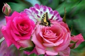 Rosas y mariposa