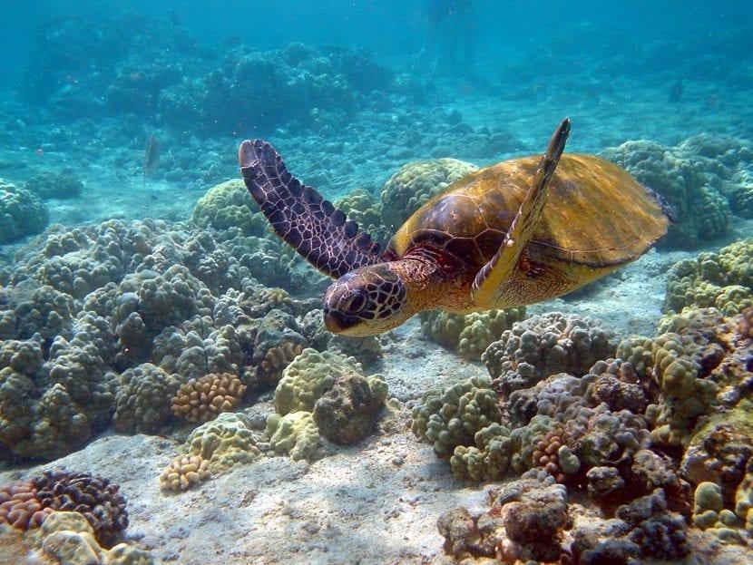 Tortuga en Hawái
