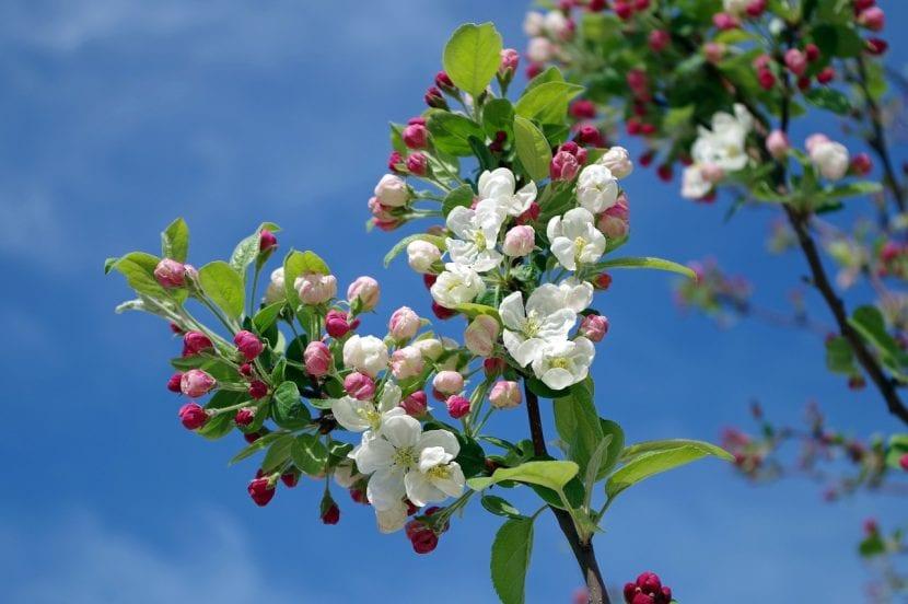 Árbol de manzano en flor
