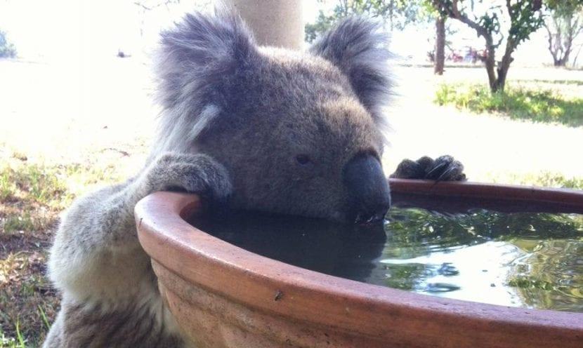 Koala bebiendo agua