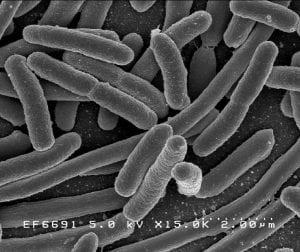 Flora intestinal bajo el microscopio