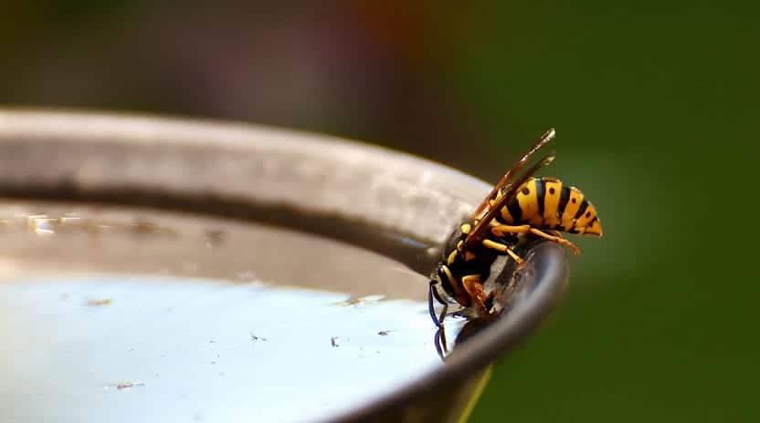 avispa bebiendo agua