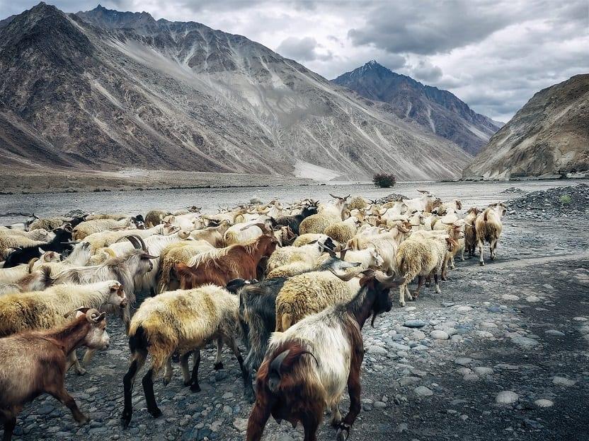 Cabras en el valle