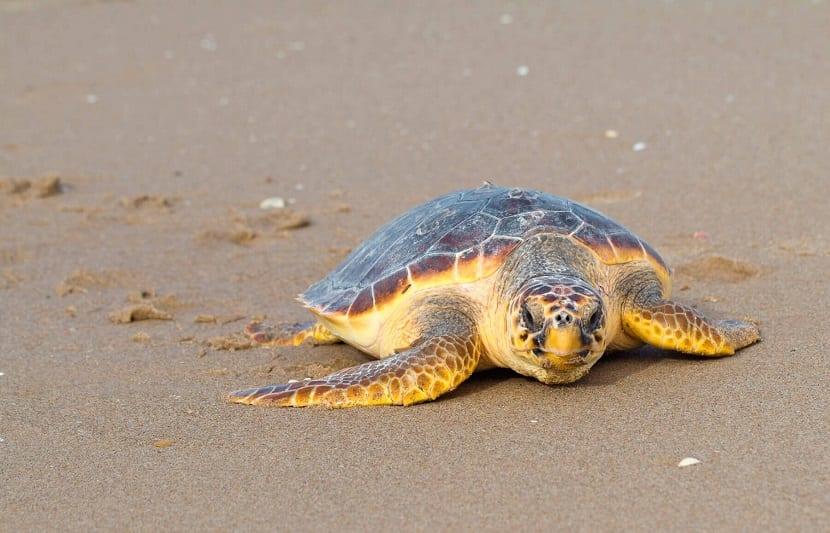 la tortuga boba es afectada por el cambio climático