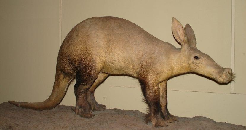 Oso hormiguero africano