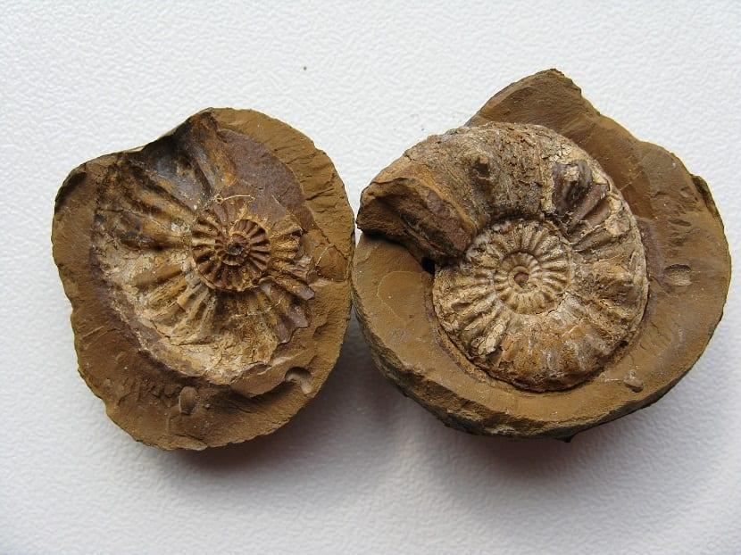 ammonites fósil