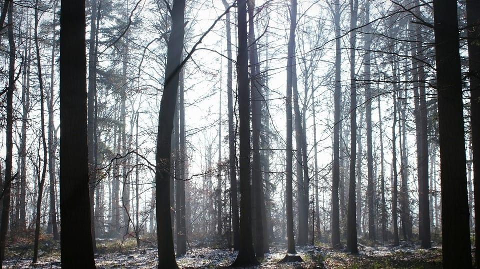 Árboles de un bosque fantasma