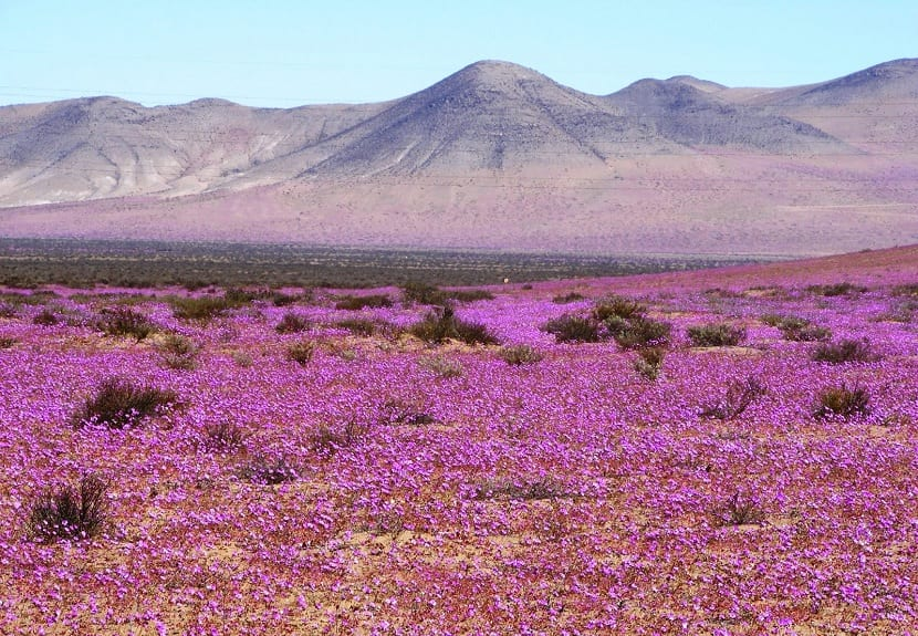 el desierto de Atacama aparece florecido