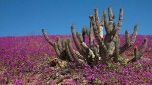 desierto de atacama florido