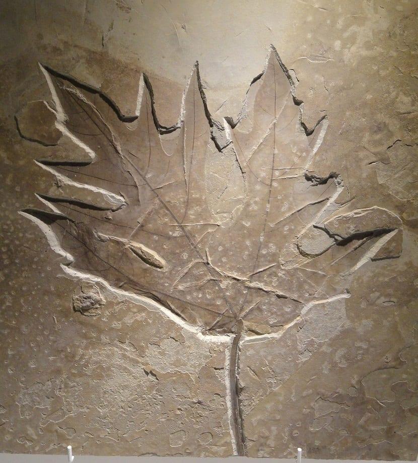 fósil de hoja
