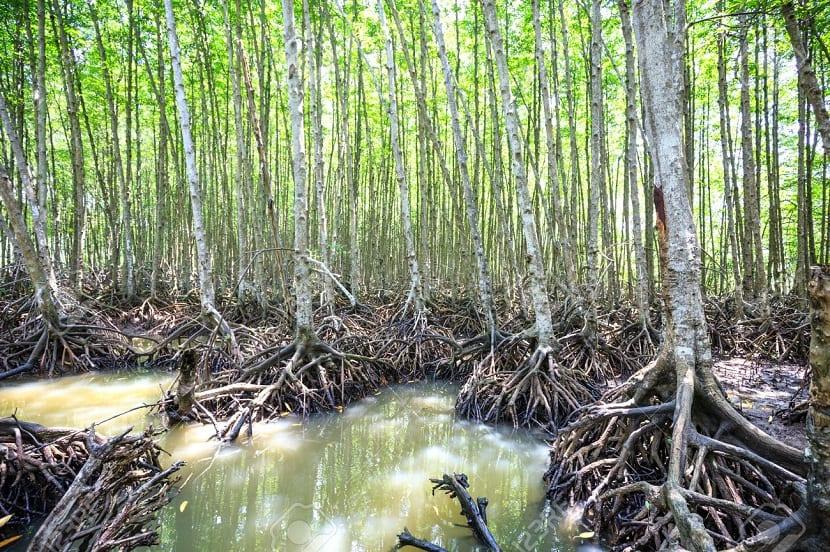 manglares vietnam protegen contra el cambio climático