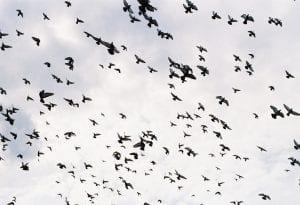 manda pájaros volando