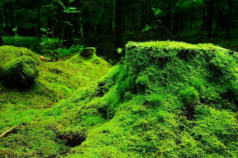 bosque musgo vegetación