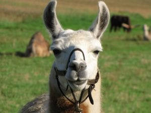 llama camello