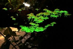 foxfire setas lumínicas bioluminiscencia