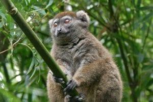 Ejemplar de lemur del bambú