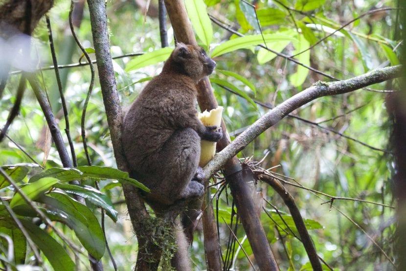 Lemur del bambú comiendo en el bosque