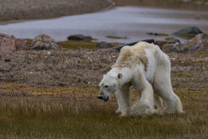 Oso polar muriendo