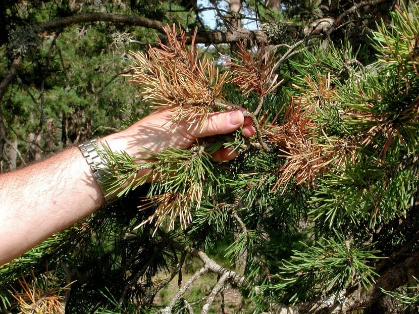 pino afectado por la sequía