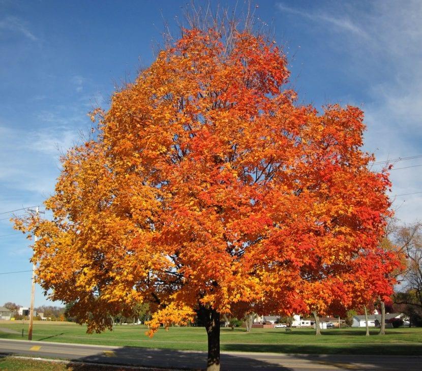 Acer saccharum, el árbol del azúcar